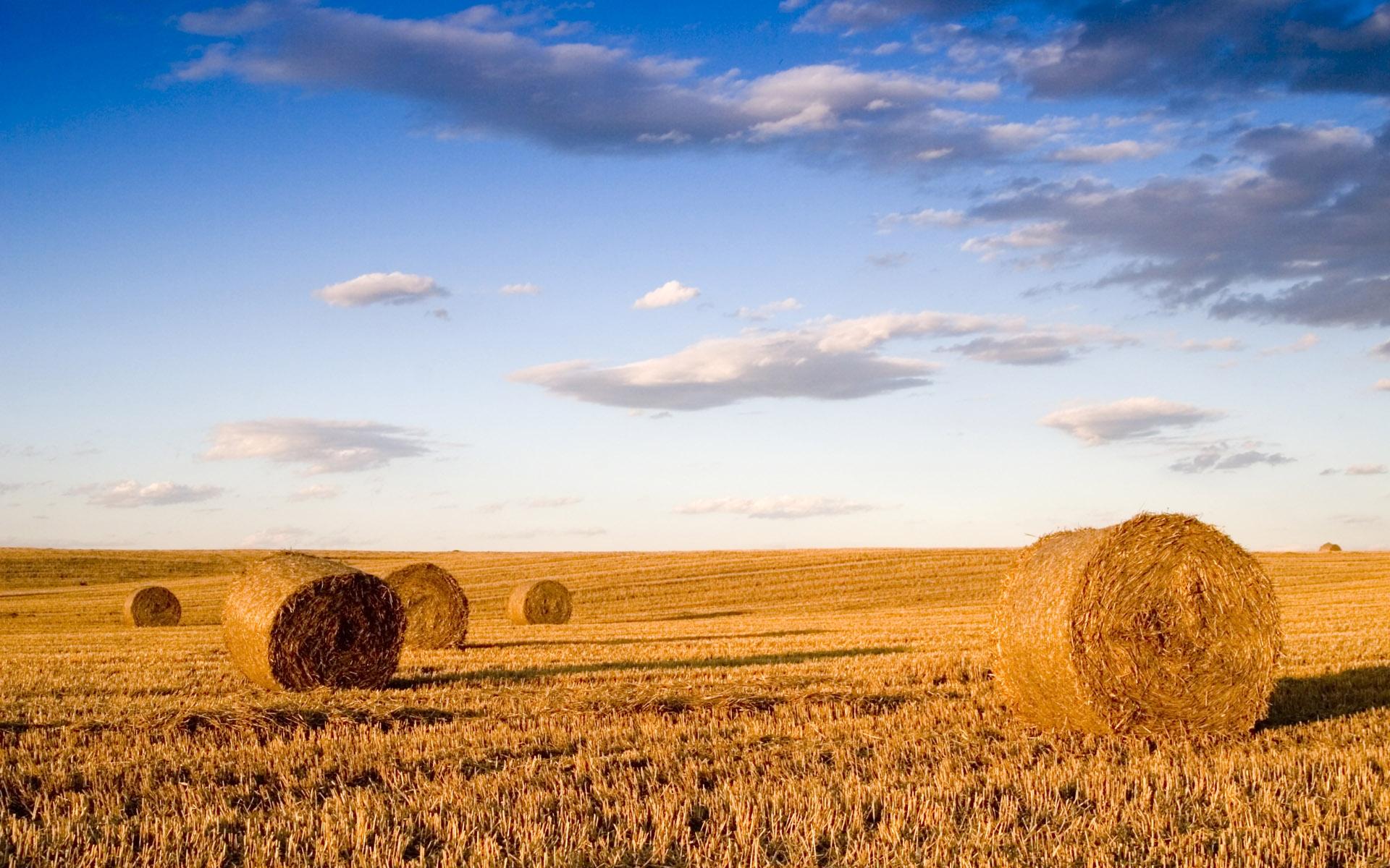 wheat_field_1
