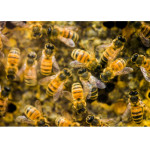 Honeybees Show Evidence of Insecticide